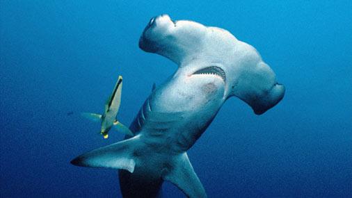 Класс: Хрящевые рыбы (Chondrichthyes...