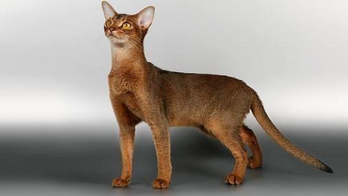 """""""Подведенные """" темным контуром...  Фото Абиссинская кошка."""