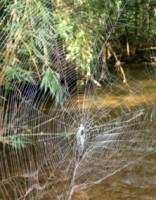 Завораживает! 20-метровый мост из паутины показали на видео