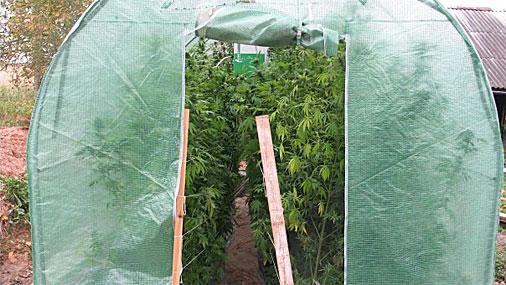 ...обнаружили около одного из частных домов в Резекненском крае три теплицы, в которых растет марихуана...