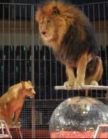 В Рижском цирке выступает лев, убивший человека. Бояться ли?