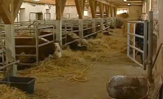 Лихие 90-е вернулись: пытались поджечь хлев с 350 коровами