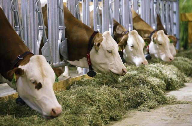 Латвийские крестьяне сдают ежегодно только 300 туш крупного рогатого скота. Однако прилавки заполнены говядиной…