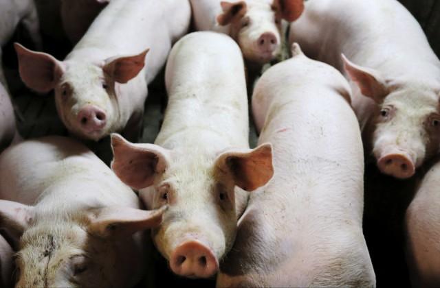 Сотня свиней попробовала сбежать подороге набойню воФранции