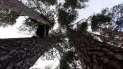 LTV7: в Юрмале ради строительства элитной многоэтажки вырубают сосновый лес