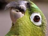 В Кувейте попугай разболтал жене об измене мужа