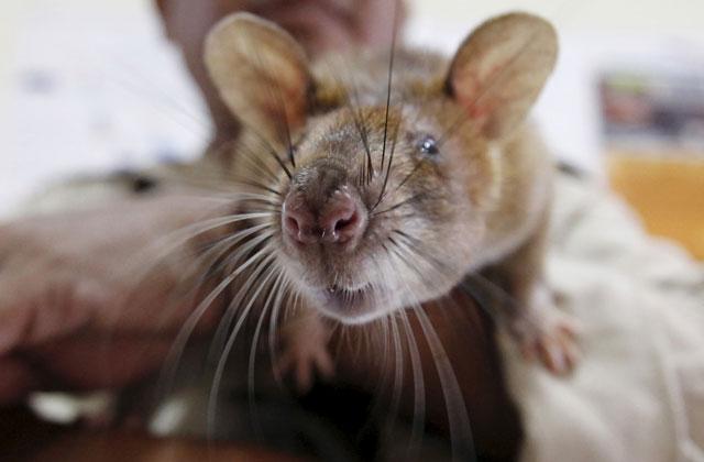 ВИндии полицейские сообщили, что конфискованный спирт выпили крысы