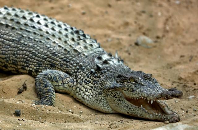 ВоФлориде аллигатор напал на10-летнюю девочку