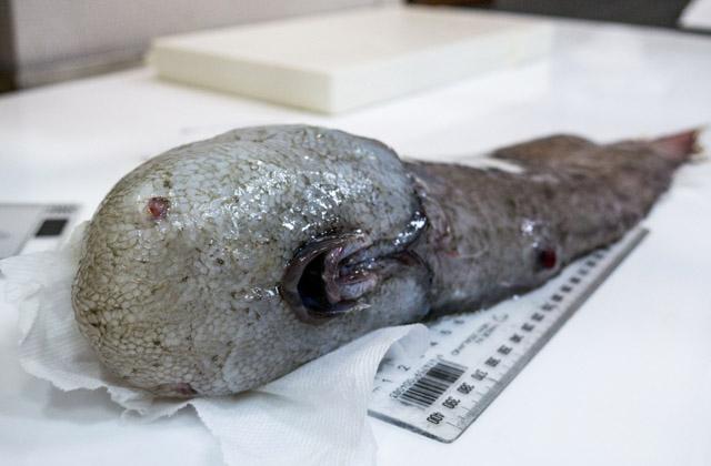 Уберегов Австралии словили считавшуюся вымершей рыбу без лица