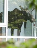 В Вентспилсе лось пришел в город, отметить Лиго вместе с жителями