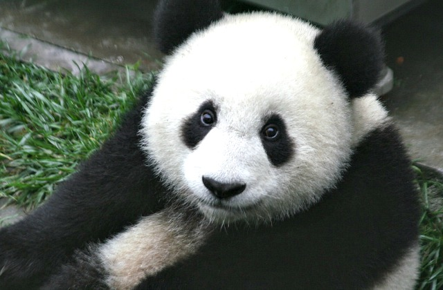 Маленькая панда помешала работнику зоопарка посадить зелень ввольере