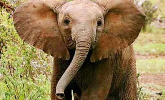 Когда ножки коротенькие: как упорный слоненок с канавой боролся