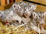 Смотрите, какие милашки! В Австрии родились белые тигрята