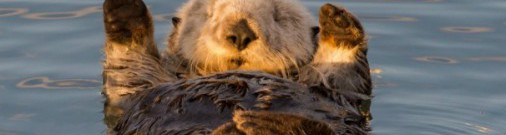 ФОТО: Редкие морские выдры наслаждаются утренним солнышком