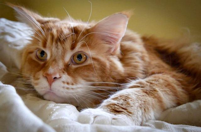 Наибольший кот вмире вырос намясе кенгуру